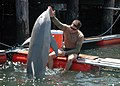 US Navy 100608-N-9806M-077 sailors work with a bottlenose dolphin at Joint Expeditionary Base Little Creek-Fort Story during Frontier Sentinel 2010.jpg