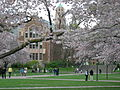 U Wash Quad cherry blossoms 04.jpg