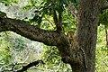 Uday Kiran Leopard BR Hills-6.jpg
