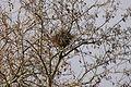 Un nid de corbeau.JPG