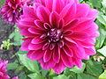 Unidentified Dahlia 2007 10010412.jpg