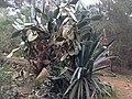 Unknown cactus 1.jpg