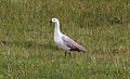 Upland Goose (Chloephaga picta) (15955762465).jpg