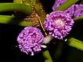 Urticaceae (Poikilospermum sp.) flowers (15466877611).jpg