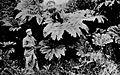 Vegetacion junto al Río Yelcho 1903.jpg