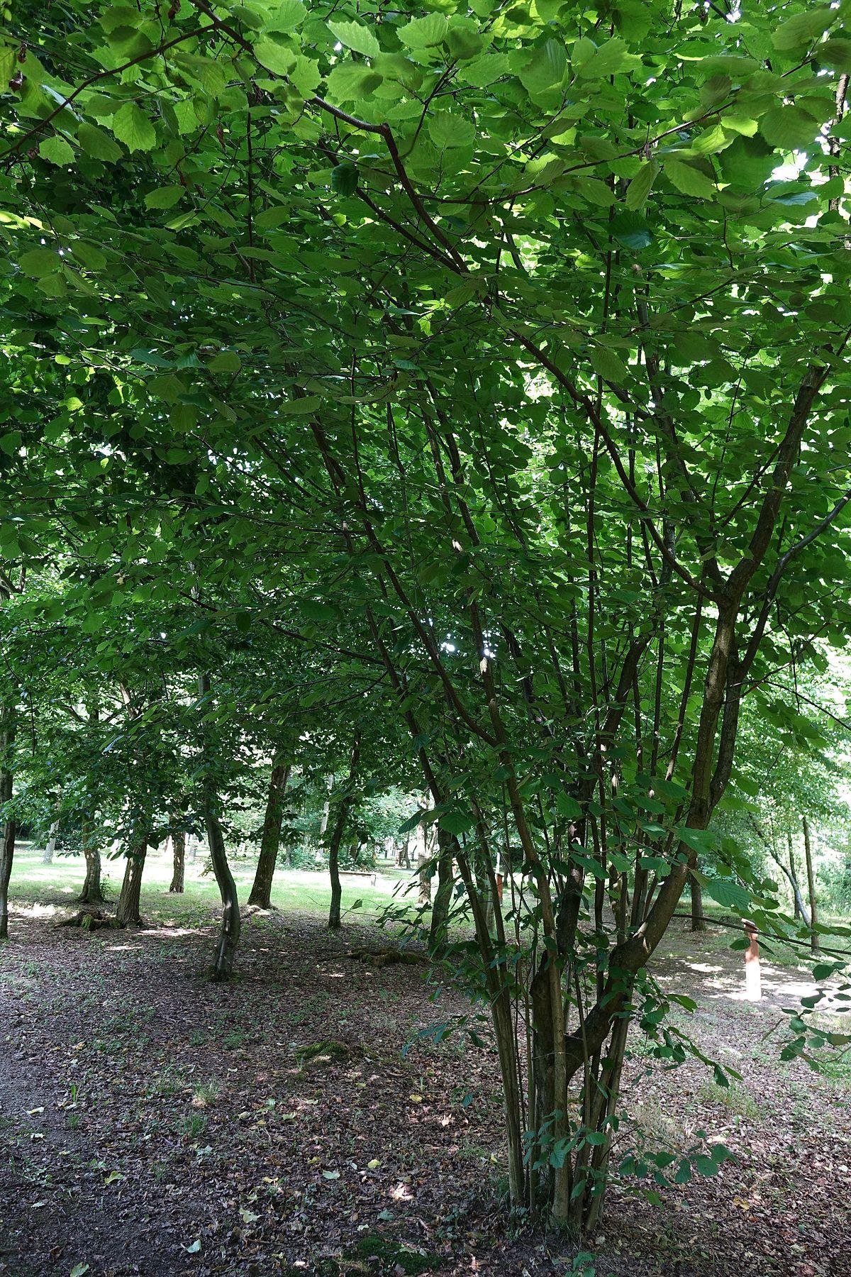 Coudraie wiktionnaire for Jardin wiktionnaire