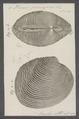 Venus puerpera - - Print - Iconographia Zoologica - Special Collections University of Amsterdam - UBAINV0274 077 12 0003.tif