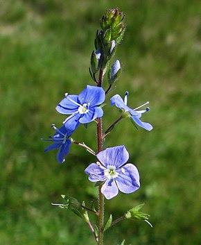 Veronique Plante Wikipedia