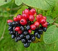 Viburnum lantana berries - Flickr - gailhampshire.jpg