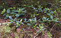 Viburnum tinus, Sète 01.jpg