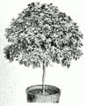 Viburnum tinus.png