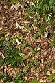 Vicia sylvatica 08.jpg