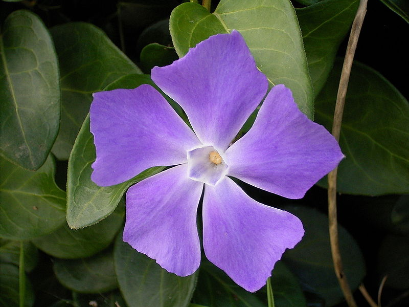 File:Vinca major (Barlovento) 01.jpg