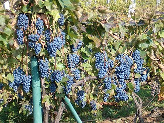 Hungarian wine - Grapes in an Upper Hungary vineyard.