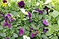 Viola Springtime Mix 1zz.jpg