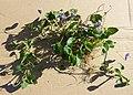 Viola alba subsp. violacea sl30.jpg
