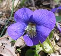 Viola odorata flower - purple with white center - front P.2005.04.04.jpg