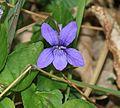 Viola sp - Flickr - S. Rae.jpg