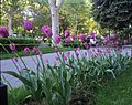 Violet tulips, ArmAg.jpg