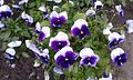 Violets 2.jpg