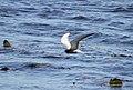 Vitvingad Tärna White-winged Tern (14473757972).jpg