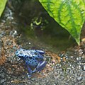 WLA hmns Blue poison dart frog.jpg
