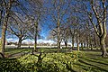Wandsworth Park - daffodils in bloom.jpg