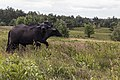 Waterbuffalos in Germany.jpg