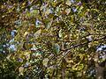Wavy-leaved Fig tree (12909515293).jpg