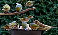Waxeyes at the feeder. (19131717339).jpg