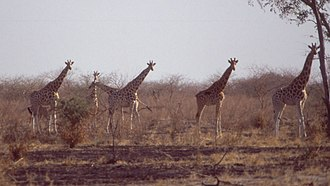 Waza National Park - Giraffes in burned grassland during the dry season in December