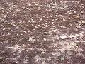 Wekeromse Zand buntgras met mos.jpg
