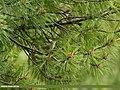 Western Crowned Warbler (Phylloscopus occipitalis) (27969849070).jpg