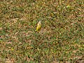Western Yellow Wagtail (30370381796).jpg