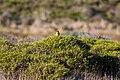 Western meadowlark (38472514941).jpg