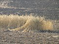 Wheat field near Sapir college firebombe kite damage 539.jpg