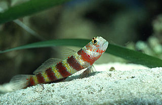 Gorgeous prawn goby species of fish