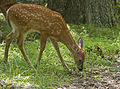 White-Tailed Deer Fawn (9600041554).jpg
