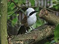 White-crested Laughingthrush SMTC.jpg