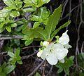White-flowered Rhododendron - Flickr - brewbooks (1).jpg