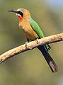 White-fronted Bee-eater, Merops bullockoides, at Kruger National Park, South Africa (20770040978).jpg