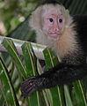 White-headed Capuchin (Cebus capucinus) (15909251352).jpg