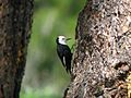 White-headed Woodpecker - Flickr - GregTheBusker.jpg