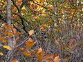 White-tail-deer-brush - West Virginia - ForestWander.jpg