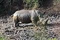 White Rhinoceros (2875290534).jpg