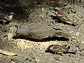 White Winged Dove with Sparrows.jpg