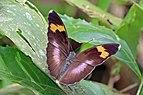 Widespread forester (Euphaedra medon medon) female.jpg