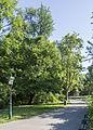 Wien Stadtpark Ginkgo.jpg