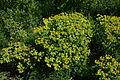 Wiener Naturdenkmal 695 (Wien-Floridsdorf) - Alte Schanze Werk XII - Gelb-Grüne Blüten a.JPG