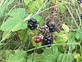 Wild blackberries at the abandoned grounds of the Hollygrove National School.jpg